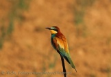 WildLife Photos of European Bee-eater, Merops apiaster