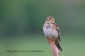 WildLife Photos of Corn Bunting, Miliaria calandra