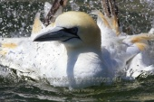 WildLife Photos of Northern Gannet, Morus bassanus