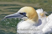 WildLife Photos of Birds, Pelicans & cormorants, Northern Gannet, Morus bassanus