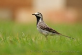 WildLife Photos of White Wagtail, Motacilla alba