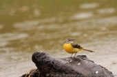 WildLife Photos of Grey Wagtail, Motacilla cinerea