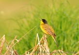 WildLife Photos of Yellow Wagtail, Motacilla flava