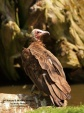 WildLife Photos of Birds of Prey, Hooded Vulture, Necrosyrtes monachus