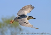WildLife Photos of Black-crowned Night-heron, Nycticorax nycticorax