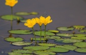 WildLife Photos of Fringed Water-lily, Nymphoides peltata