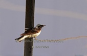 WildLife Photos of Black-eared Wheatear, Oenanthe hispanica