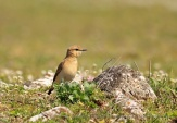 WildLife Photos of Isabelline Wheatear, Oenanthe isabellina