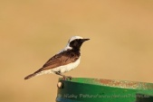 WildLife Photos of Pied Wheatear, Oenanthe pleschanka