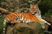 WildLife Photos of Amur Tiger, Panthera tigris altaica