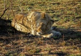 WildLife Photos of African Lion, Panthera leo