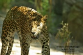 WildLife Photos of African leopard, Panthera pardus