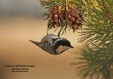 WildLife Photos of Coal Tit, Parus ater