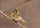 WildLife Photos of Blue Tit, Parus caeruleus