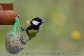WildLife Photos of Great Tit, Parus major