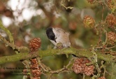 WildLife Photos of Willow Tit, Parus montanus