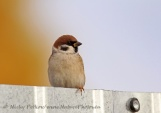 WildLife Photos of Tree Sparrow, Passer montanus