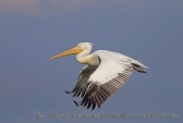 WildLife Photos of Dalmatian Pelican, Pelecanus crispus