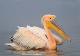 WildLife Photos of White Pelican, Pelecanus onocrotalus