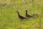 WildLife Photos of Grey Partridge, Perdix perdix