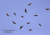 WildLife Photos of Birds of Prey, European Honey-buzzard, Pernis apivorus