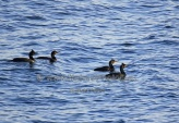 WildLife Photos of Birds, Pelicans & cormorants, Shag, Phalacrocorax aristotelis