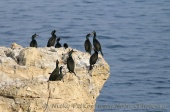 WildLife Photos of Shag, Phalacrocorax aristotelis