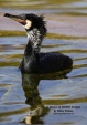 WildLife Photos of Birds, Pelicans & cormorants, Great Cormorant, Phalacrocorax carbo