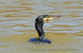 WildLife Photos of Great Cormorant, Phalacrocorax carbo