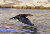 WildLife Photos of Birds, Pelicans & cormorants, Pygmy Cormorant, Phalacrocorax pygmeus