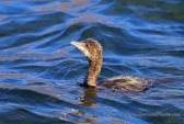 WildLife Photos of Pygmy Cormorant, Phalacrocorax pygmeus