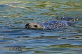 WildLife Photos of Mammals, Pinnipeds (Seals), Harbor Seal, Phoca vitulina