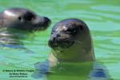 WildLife Photos of Harbor Seal, Phoca vitulina