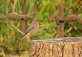 WildLife Photos of Black Redstart, Phoenicurus ochruros
