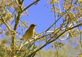 WildLife Photos of Willow Warbler, Phylloscopus trochilus
