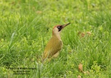 WildLife Photos of Birds, Woodpeckers & Swifts, Eurasian Green Woodpecker, Picus viridis