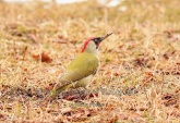 WildLife Photos of Eurasian Green Woodpecker, Picus viridis