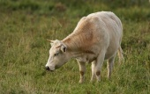 WildLife Photos of Other, Primitive breeds and Agriculture, Cows & cattle, Bos primigenius