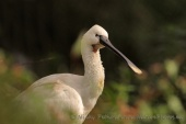 WildLife Photos of Birds, Spoonbills, Flamingos & others, Eurasian Spoonbill, Platalea leucorodia