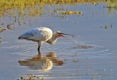 WildLife Photos of Eurasian Spoonbill, Platalea leucorodia