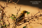 WildLife Photos of Village Weaver, Ploceus cucullatus