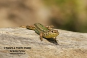 WildLife Photos of Lizards & Agamas, Balkan wall lizard, Podarcis taurica
