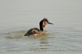 WildLife Photos of Great Crested Grebe, Podiceps cristatus