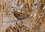 WildLife Photos of Little Crake, Porzana parva