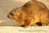WildLife Photos of Rock Hyrax, Procavia capensis