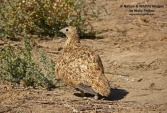 WildLife Photos of Black-bellied Sandgrouse, Pterocles orientalis