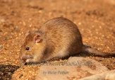 WildLife Photos of Brown Rat, Rattus norvegicus