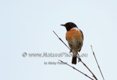 WildLife Photos of Birds, Wheatears & others, Common Stonechat, Saxicola torquata