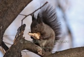 WildLife Photos of Eurasian red squirrel, Sciurus vulgaris