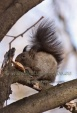 WildLife Photos of Mammals, Rodents, Eurasian red squirrel, Sciurus vulgaris
